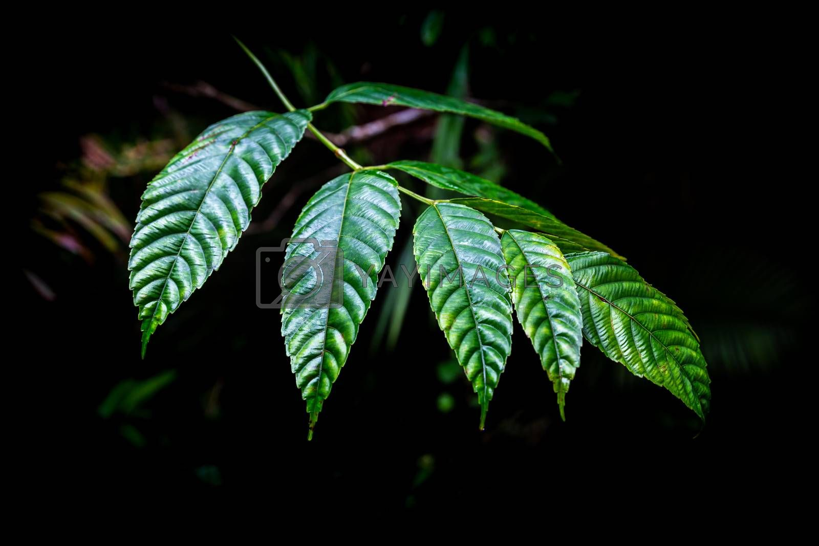 Green leaves of tropical plant with dark background inside rainforest.
