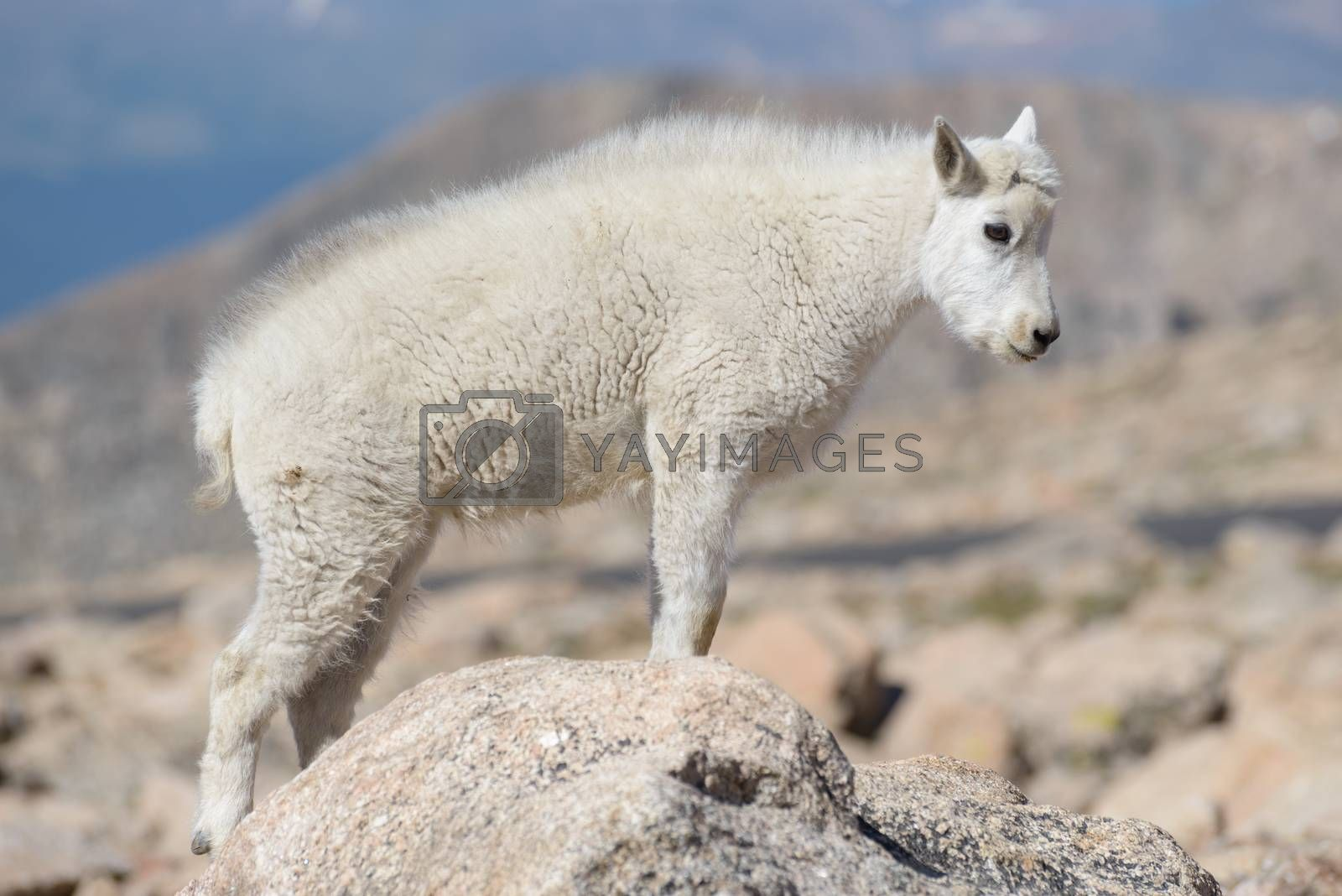 Wild Mountain Goats of the Colorado Rocky Mountains by Gary Gray
