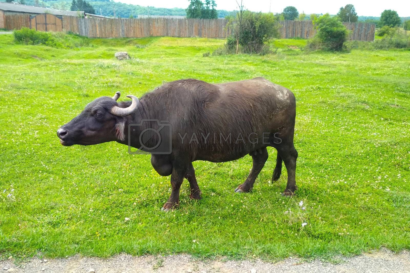 European black buffalo moo on farm against background of green grass. Bull grazing at the farm