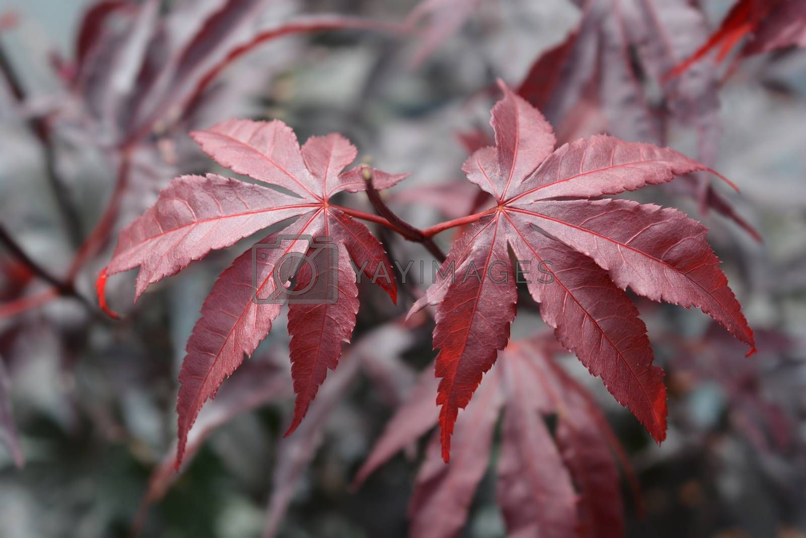 Japanese Maple Bloodgood - Latin name - Acer palmatum Bloodgood