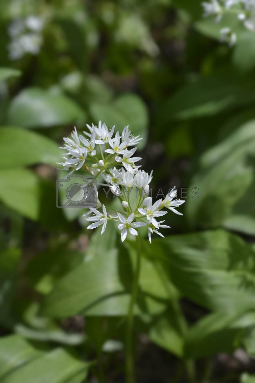 Wild garlic flower - Latin name - Allium ursinum