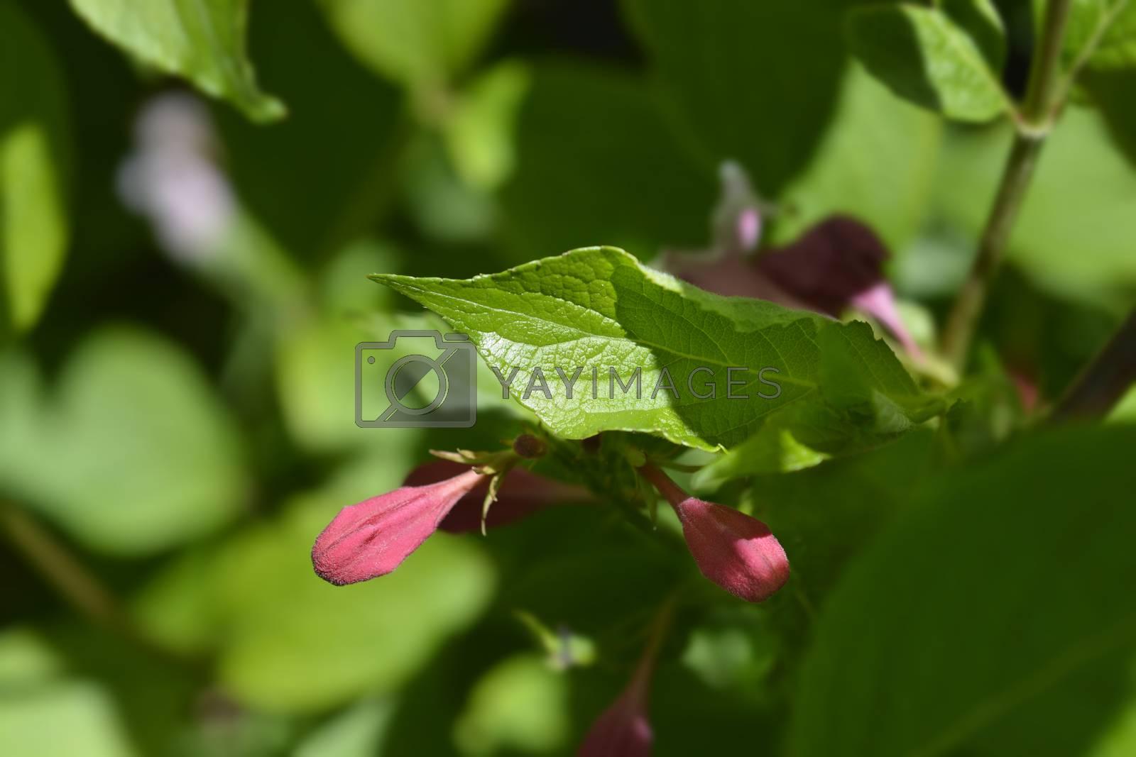 Old-fashioned weigela - Latin name - Weigela florida