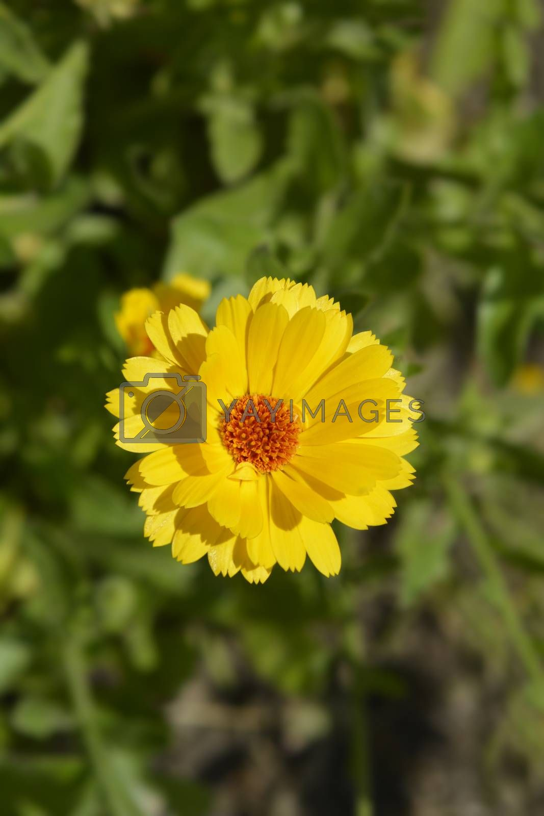 Princess mix Garden marigold - Latin name - Calendula officinalis Princess mix
