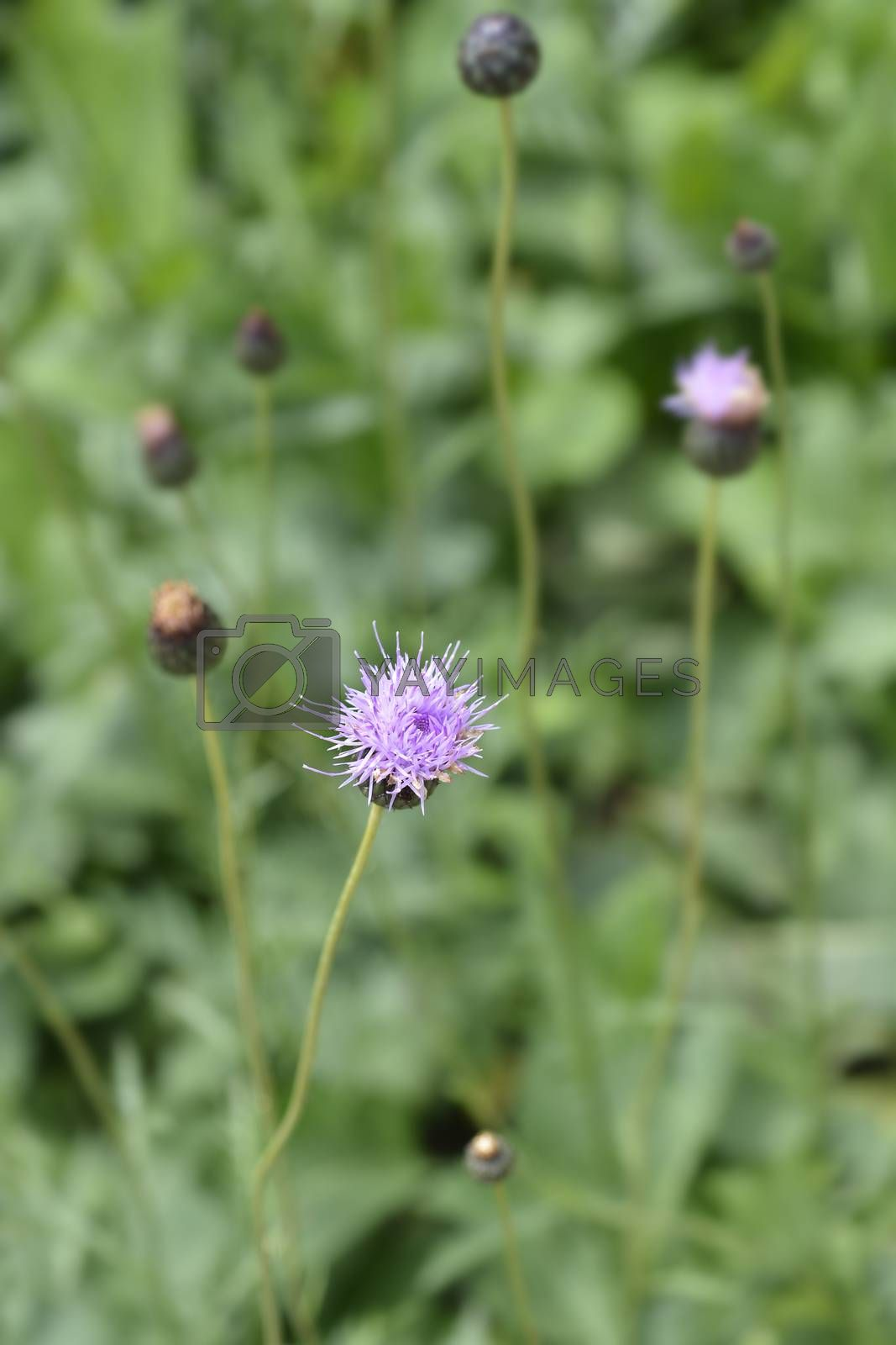 Single-flowered sawwort - Latin name - Klasea lycopifolia (Serratula lycopifolia)