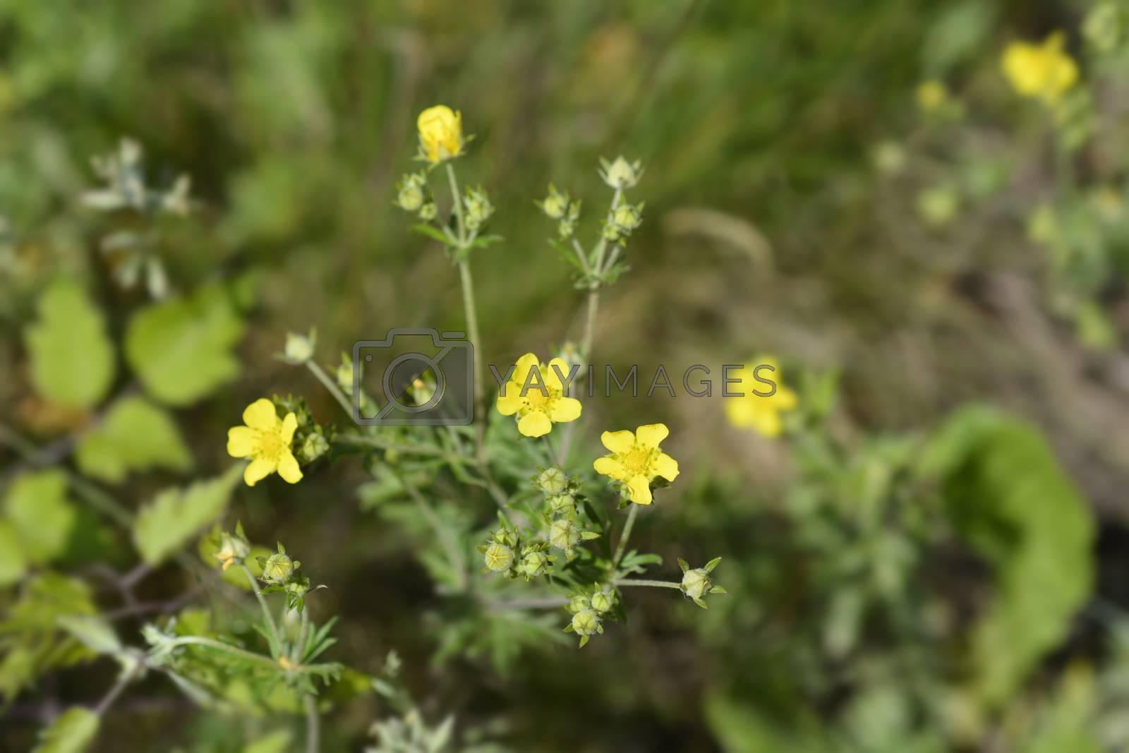 Hoary cinquefoil - Latin name - Potentilla argentea