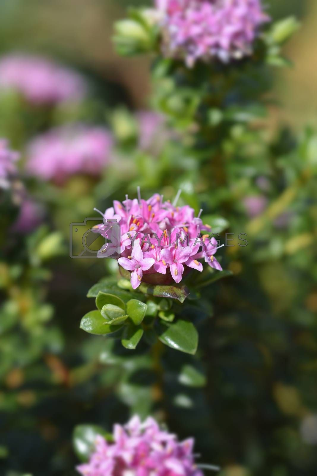 Rosy rice flower - Latin name - Pimelea ferruginea