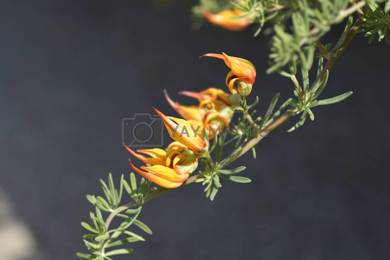 Lotus vine - Latin name - Lotus maculatus