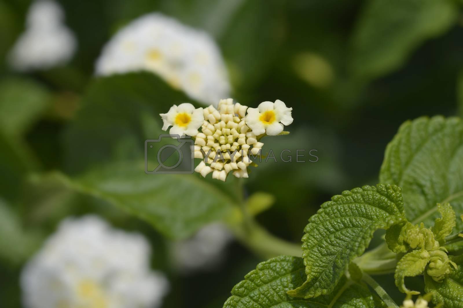 Shrub verbena flower close up - Latin name - Lantana camara