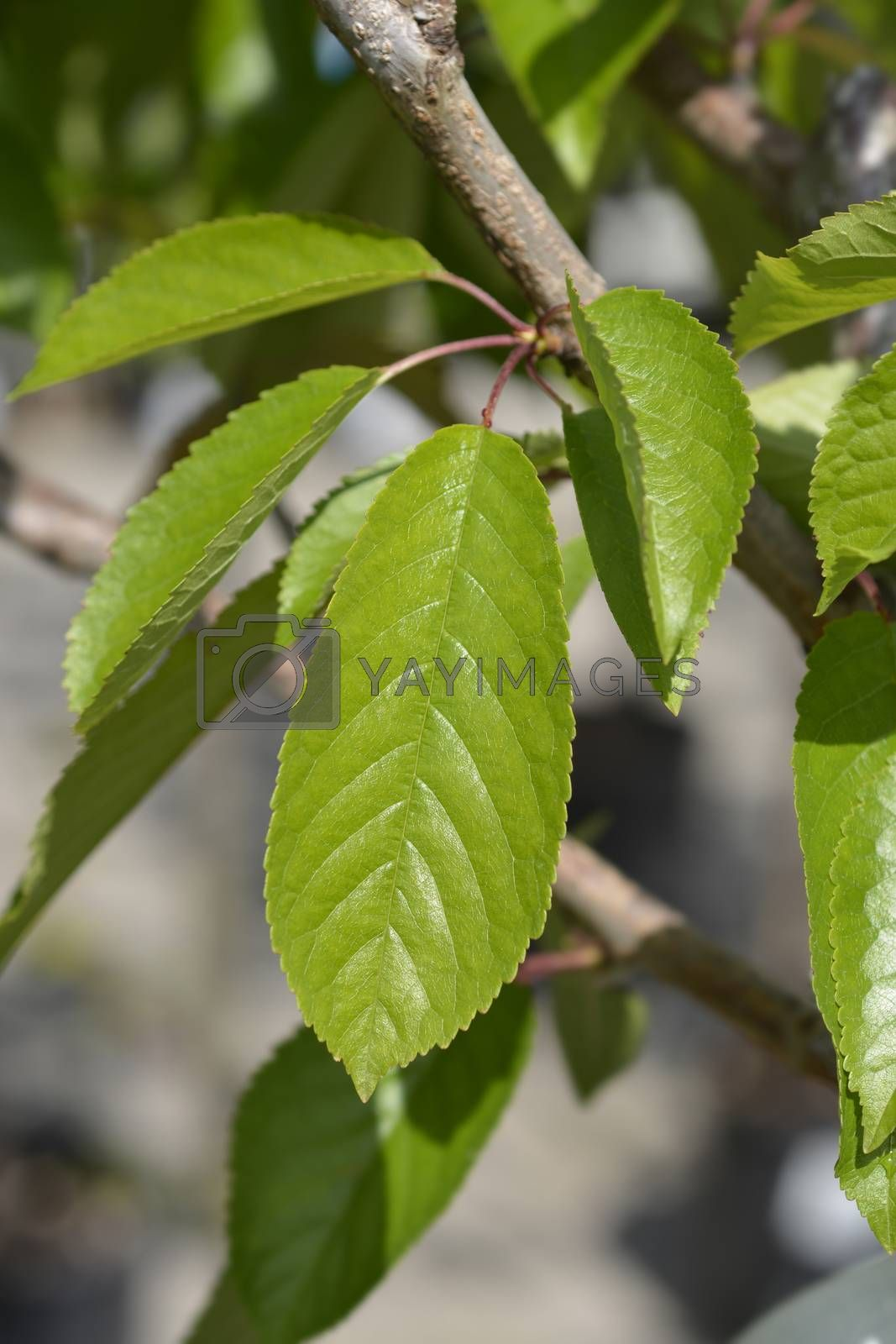 Sweet cherry tree Bigarreau Napoleon leaves - Latin name - Prunus avium Bigarreau Napoleon