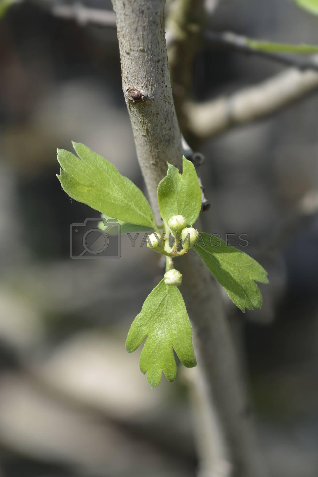 Crete hawthorn - Latin name - Crataegus azarolus