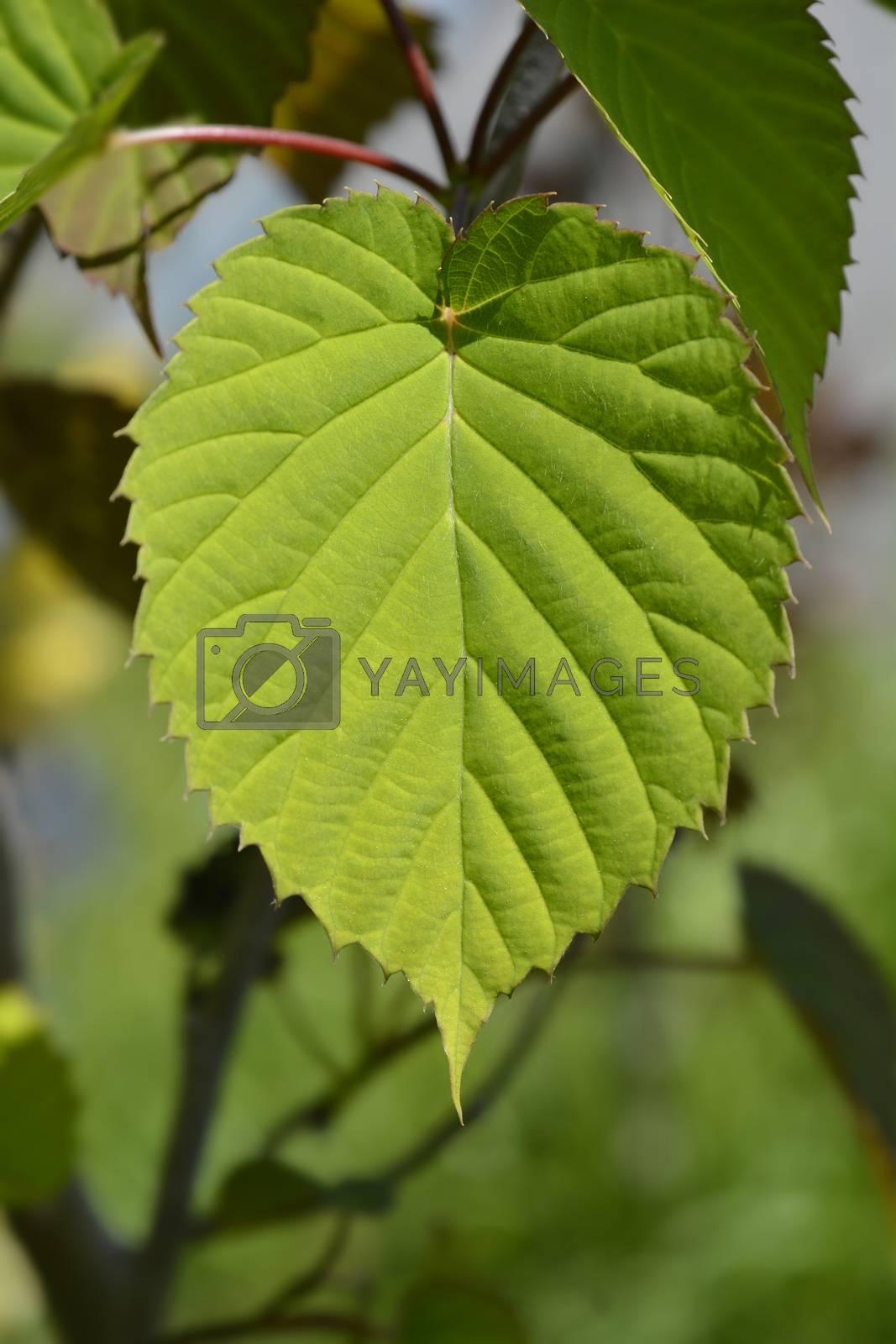 Handkerchief tree leaves - Latin name - Davidia involucrata