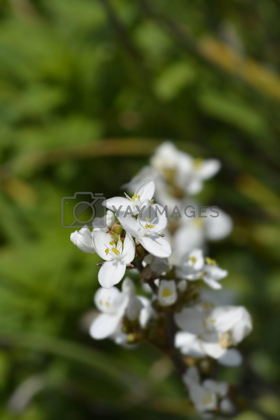 New Zealand satin flower - Latin name - Libertia grandiflora (Libertia chilensis)