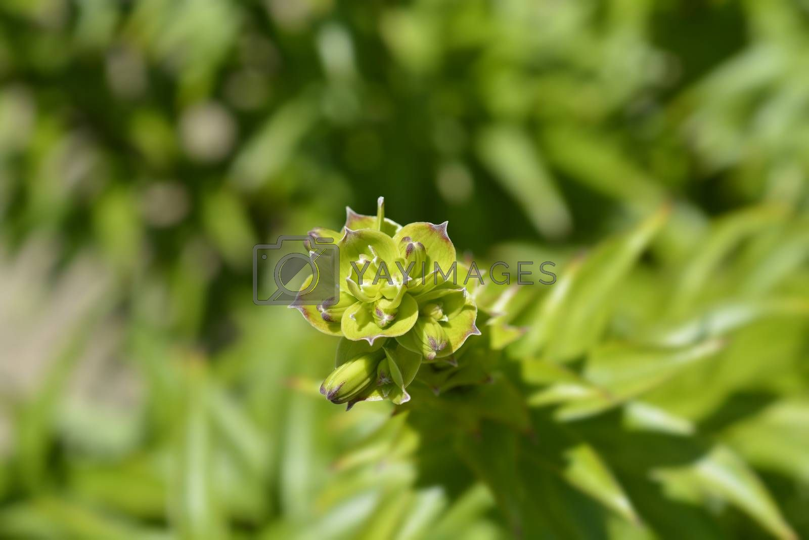 Henrys lily flower buds - Latin name - Lilium henryi