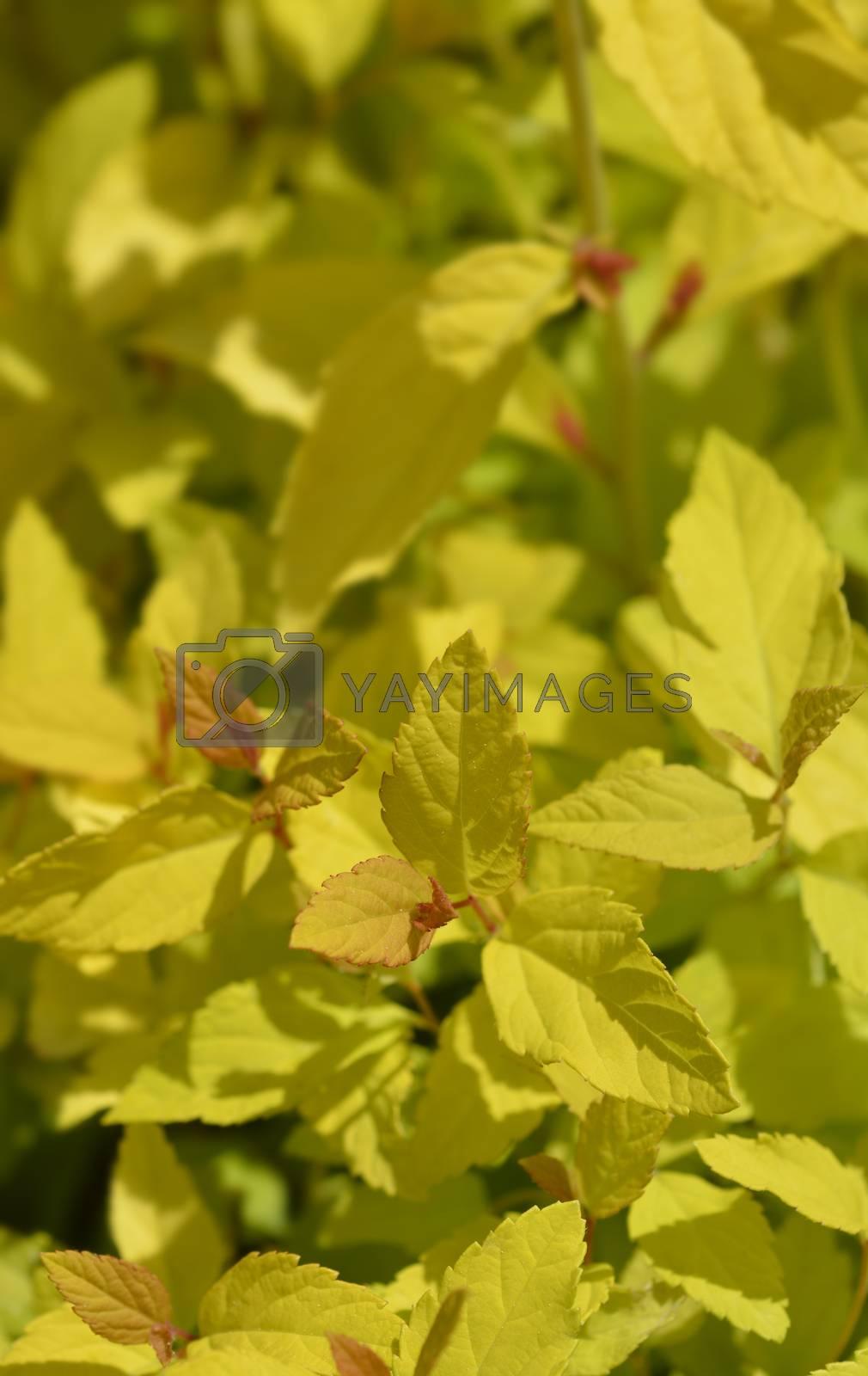 Japanese Spirea Golden Princess leaves - Latin name - Spiraea japonica Golden Princess