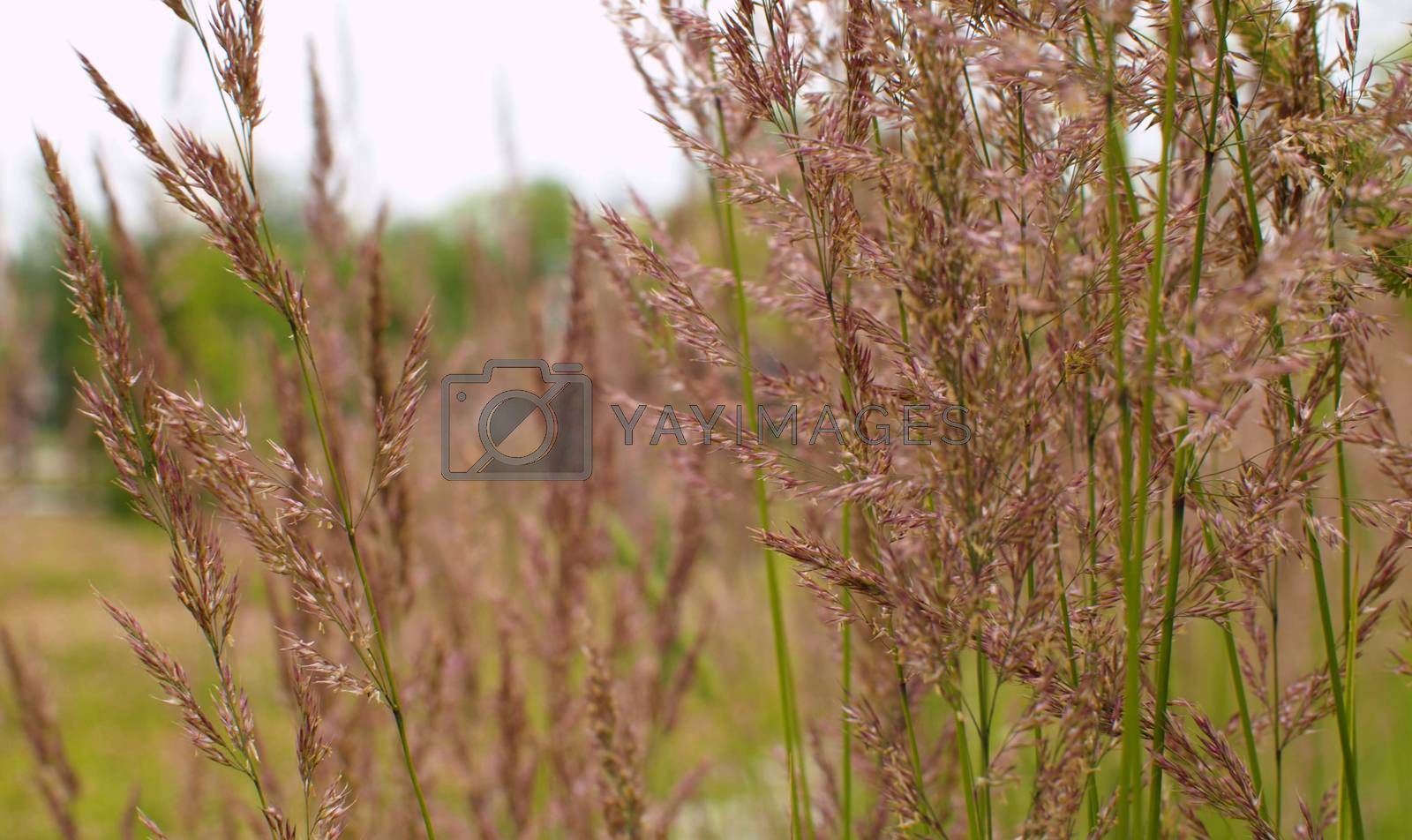 Close up view of the wild cereal seeds by blowing wind in summer on the lawn. Macro shooting. Seasonal scene. Natural background