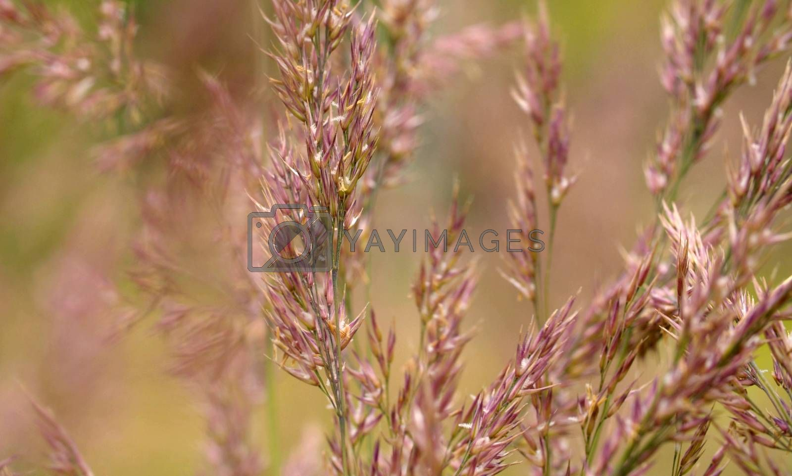 Close up view of the wild cereal seeds in summer at summer day on the lawn. Macro shooting. Seasonal scene. Natural background