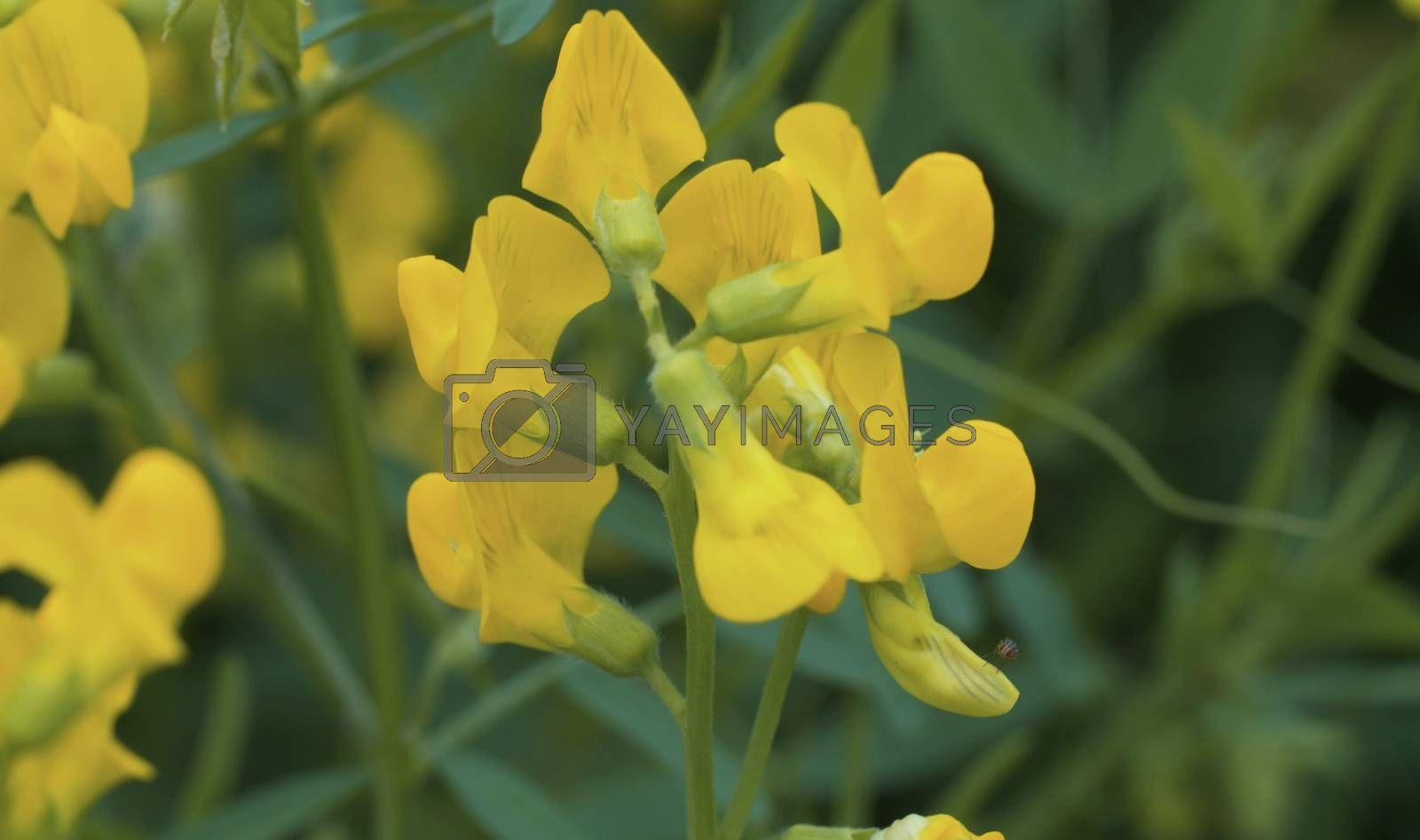 Close up view of the beautiful yellow wildflowers on the meadow in summer sunny day. Seasonal scene, natural background