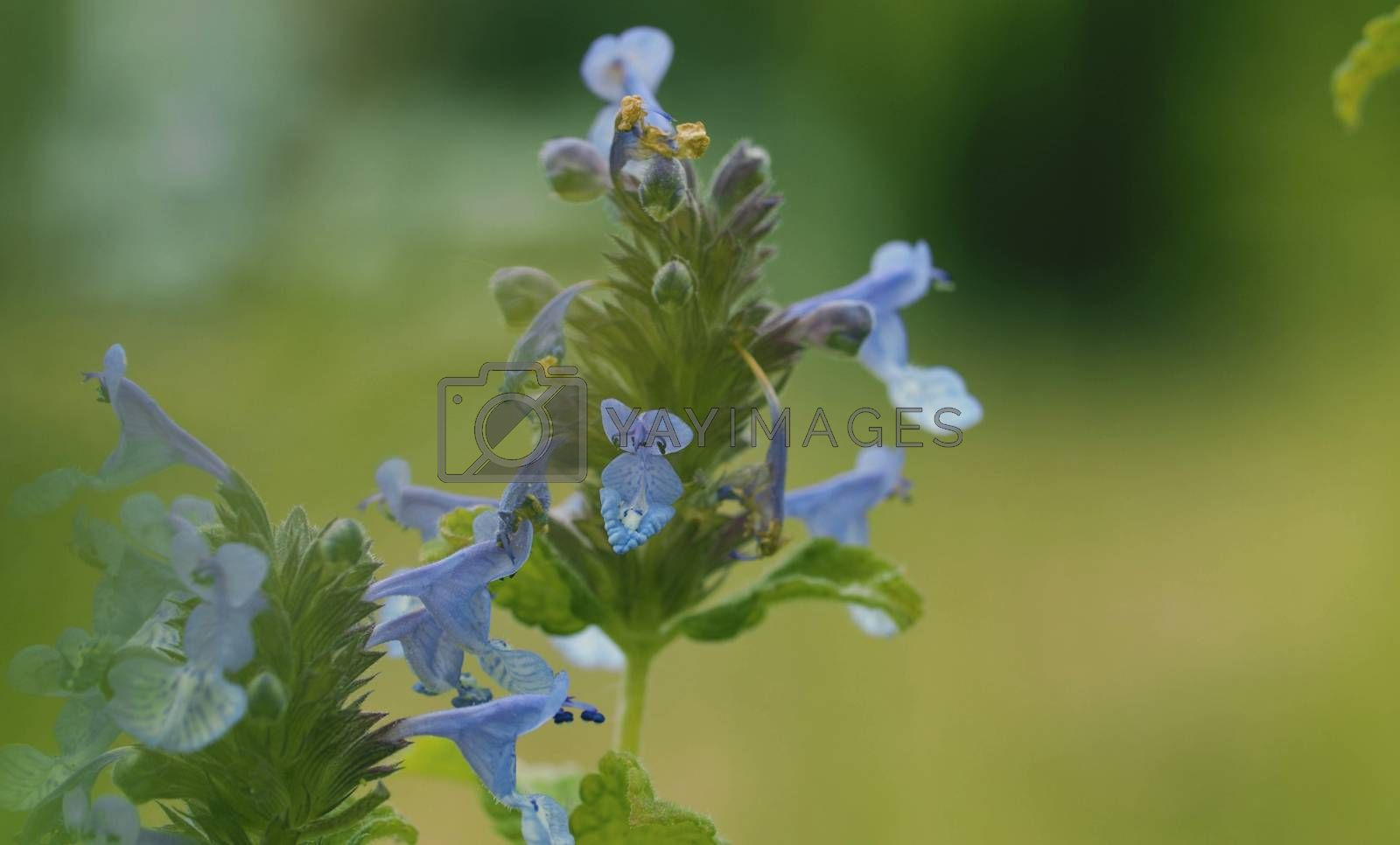 Close up of the beautiful blue wildflower in summer on the lawn. Macro shooting. Seasonal scene. Natural background