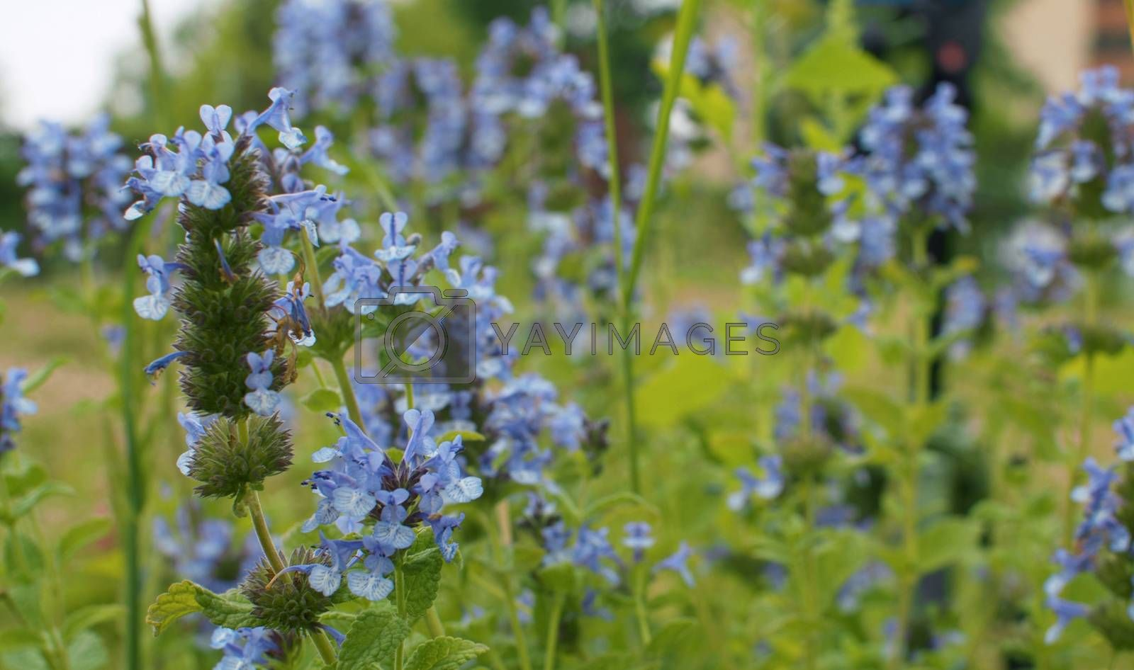 Close up of the blue wildflowers swaying in the wind in summer on the lawn. Macro shooting. Seasonal scene. Natural background