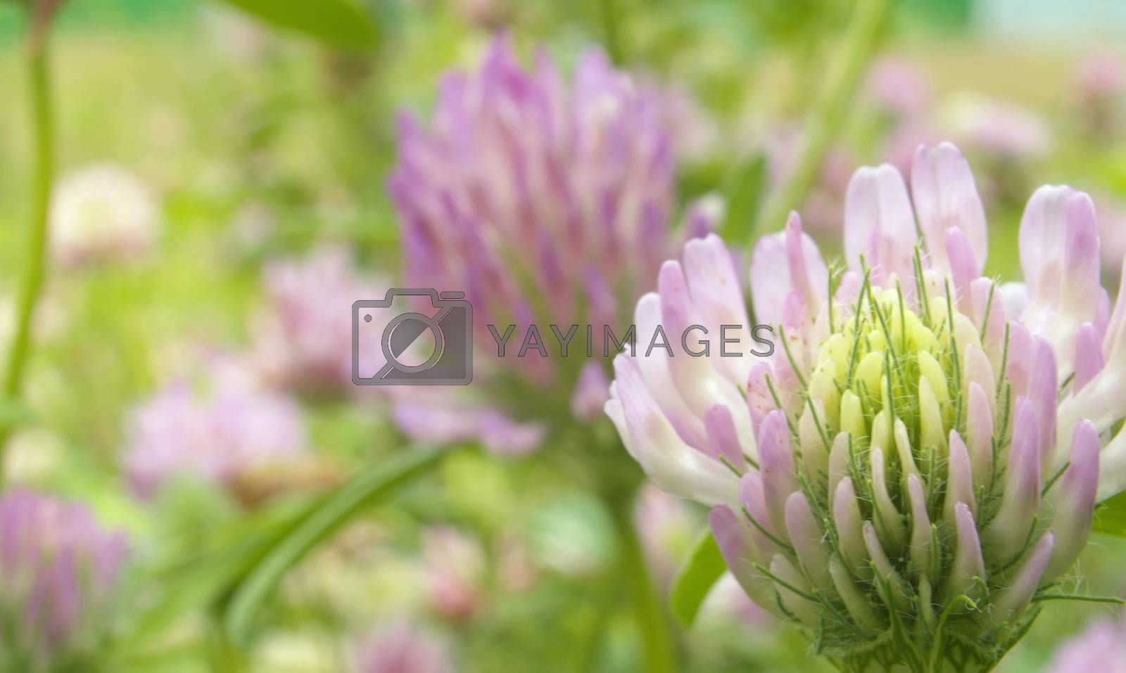 Close up of clovers flower at summer day on the meadow. Macro shooting. Natural background