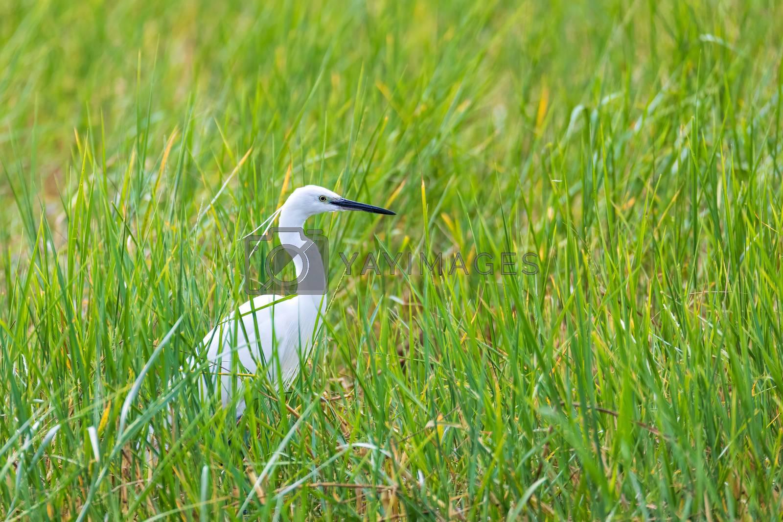 big bird Great white egret in green grass, Ardea alba looking for foor in swamp, Lake Awasa, Ethiopia wildlife