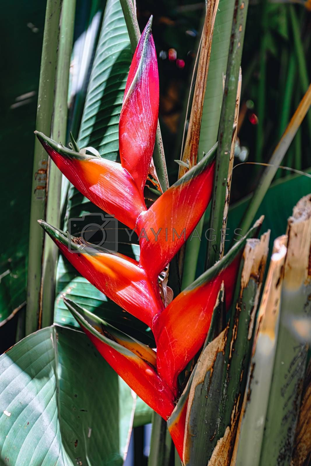 beautiful red Heliconia, flowering plants in the monotypic family Heliconiaceae. Ethiopia wilderness