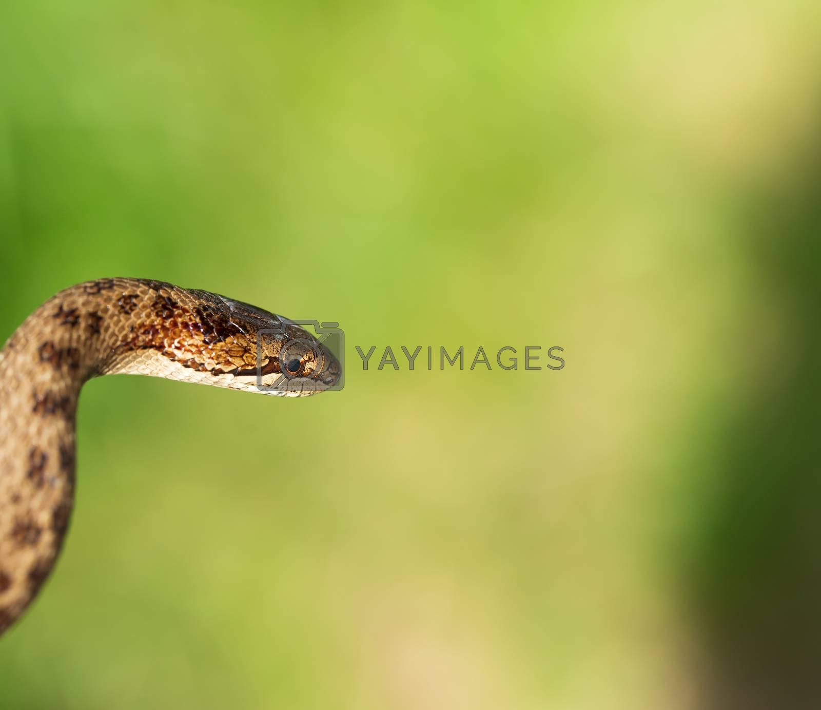 Non venomous Smooth snake, Coronella austriaca, detail of head against blurry background, Czech Republic, Europe wildlife