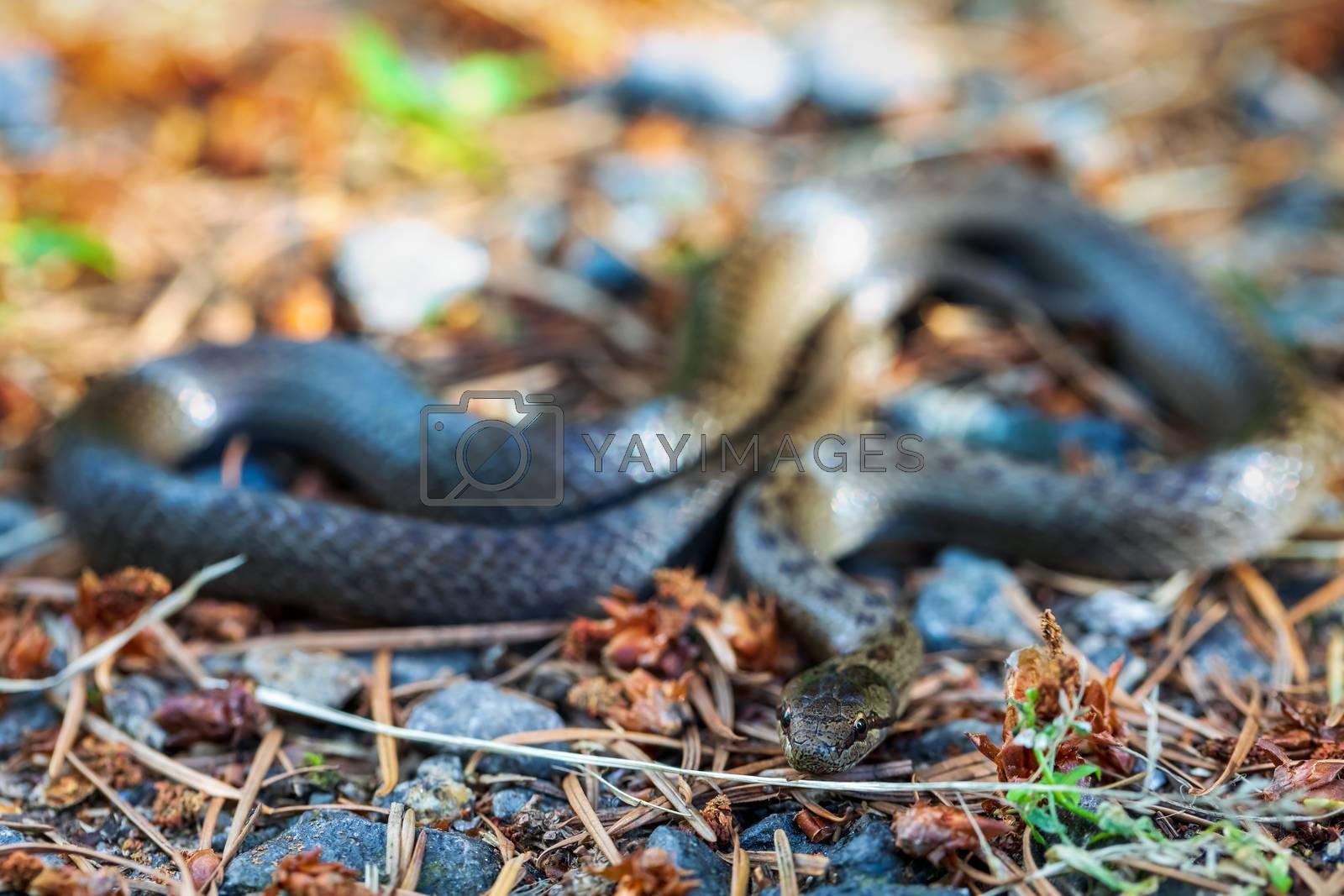 Non venomous Smooth snake, Coronella austriaca on ground in defend position, Czech Republic, Europe wildlife