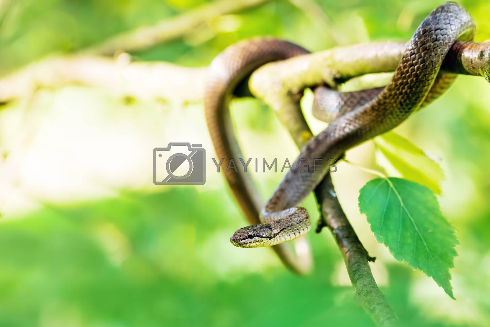 Non venomous Smooth snake, Coronella austriaca hanged on tree, Czech Republic, Europe wildlife