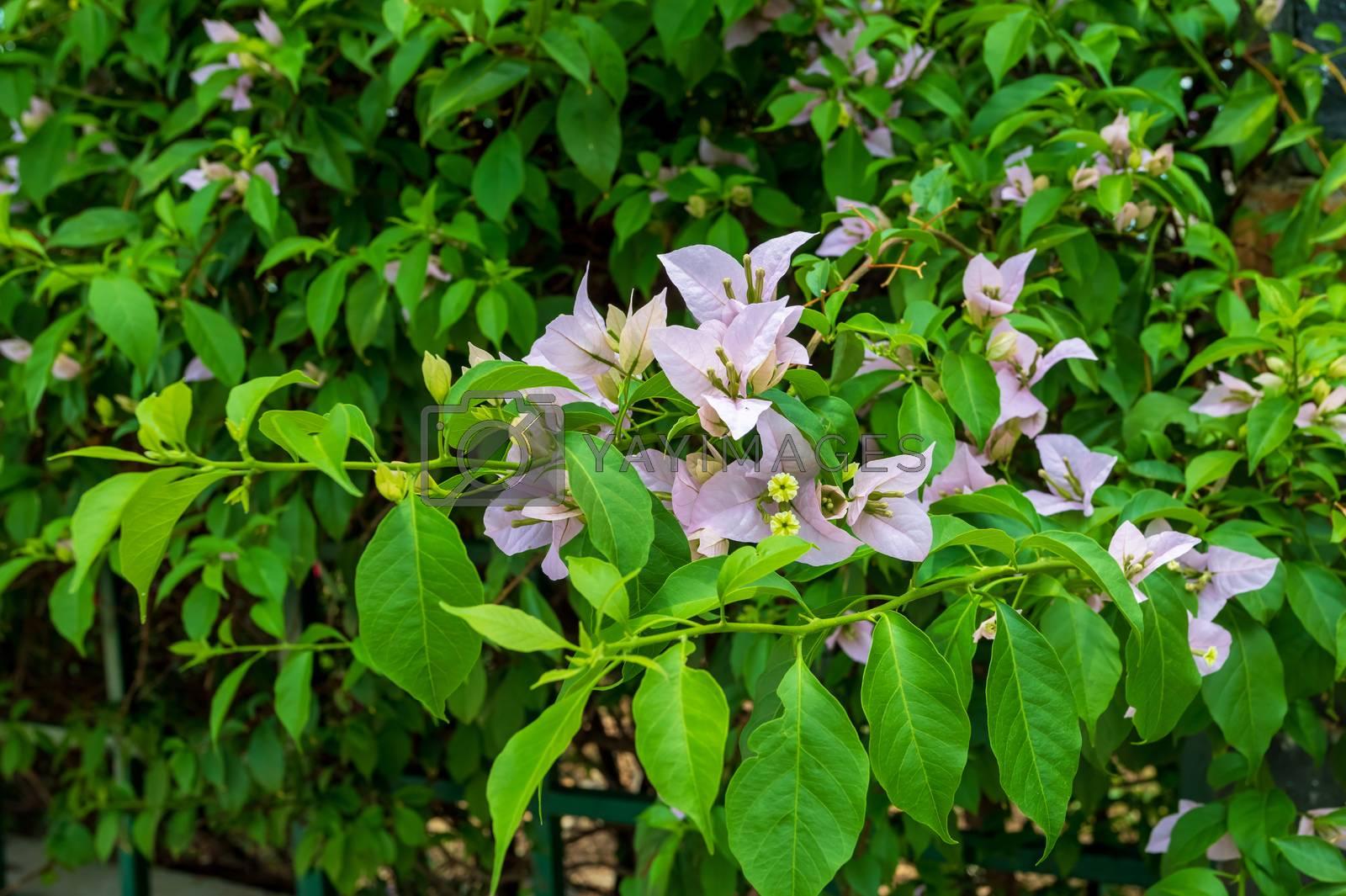 Exotic Bougainvillea flower blooming in the garden, Ethiopia