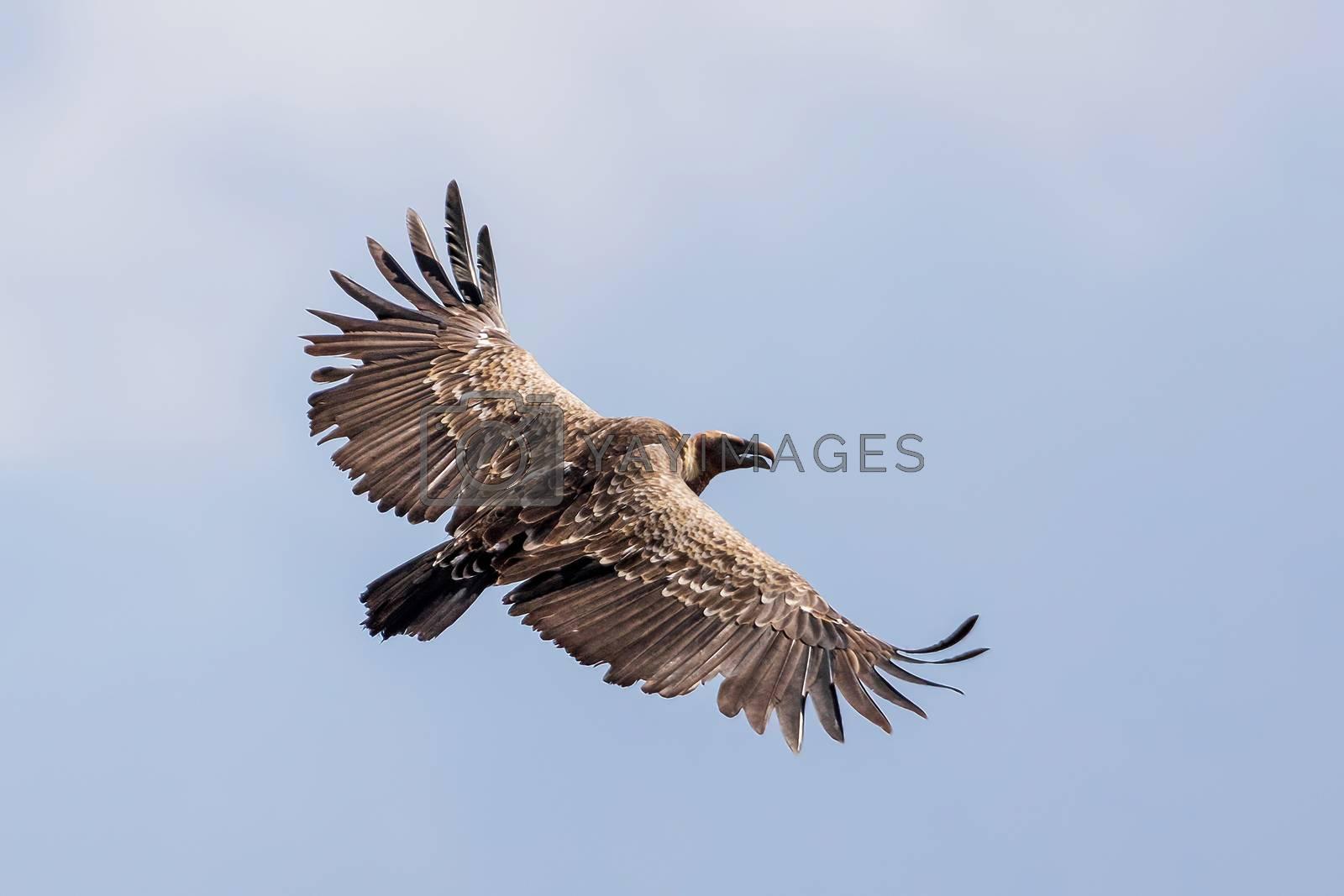 Griffon Vulture in flight against sky. Bird in Ethiopia, Africa wildlife