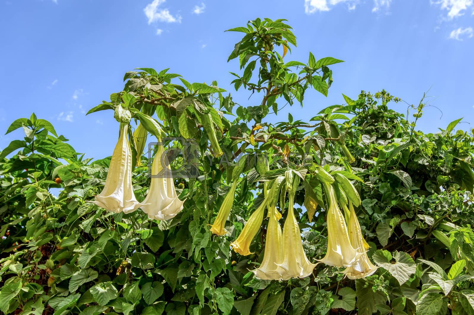 White Angels Trumpet flowers, Datura Stramonium, wild flower in Ethiopian countryside against blue sky, Ethiopia wilderness