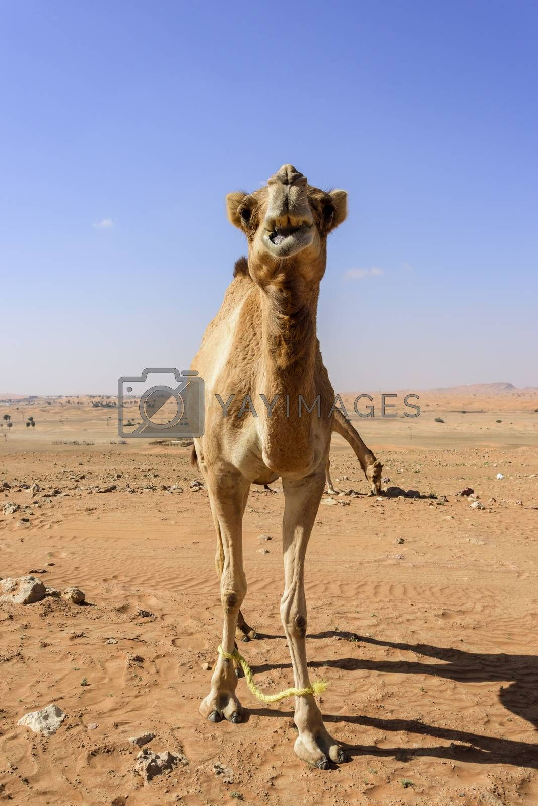 Camel looking at the camera with the front legs attached (to avoid the camels to go to far from the farm)