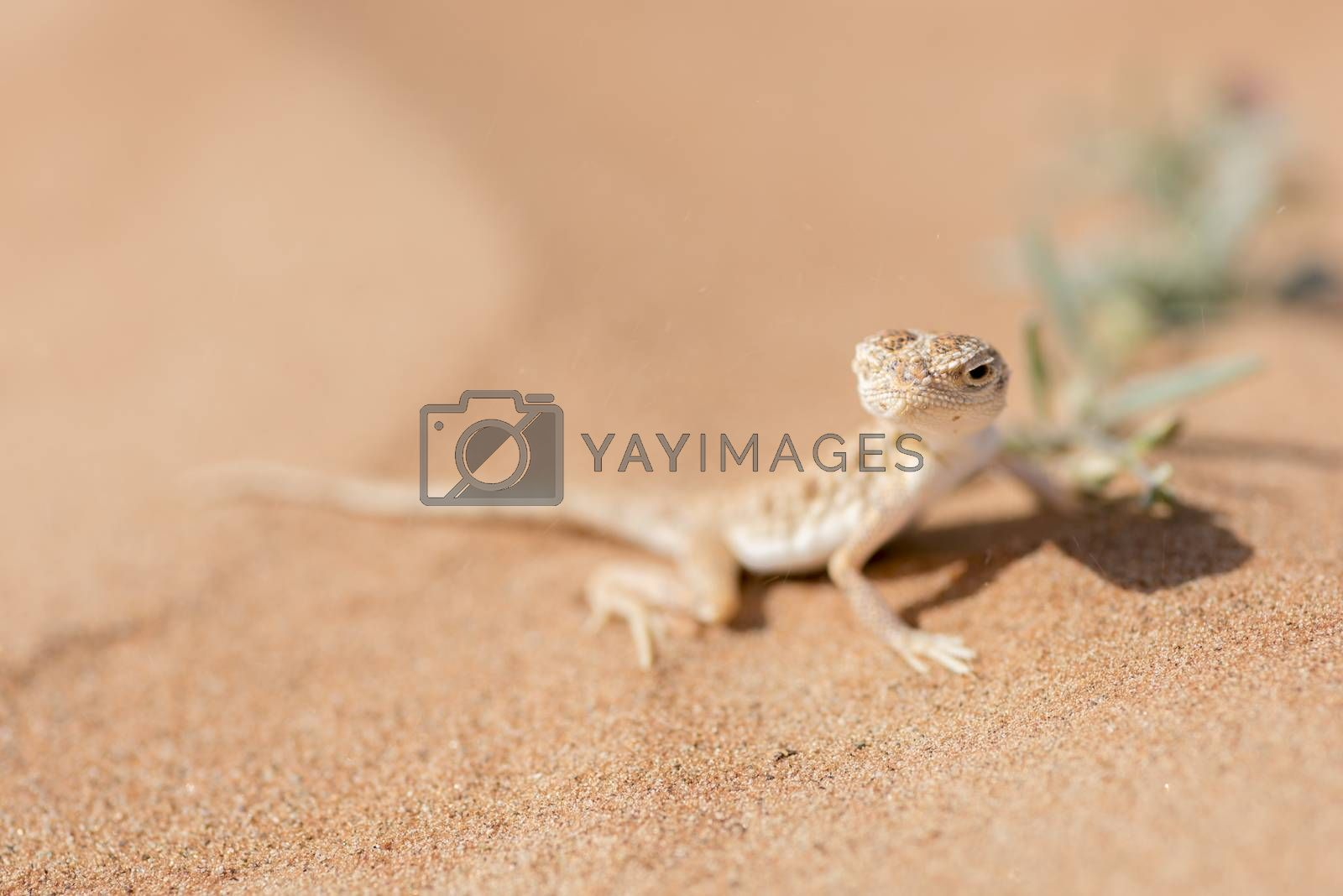 The Arabian toad-headed agama (Phrynocephalus arabicus) is a member of the Agamidae family, also known as the chisel-teeth lizards due to the compressed, fused teeth being firmly attached to the upper jaw, unlike most other lizards which have loosely attached teeth. He was posing close to a flower in the Desert of Sharjah, United Arab Emirates. He was hinting flies and was not disturb at all by my presence giving me the opportunity to take this close-up shot.