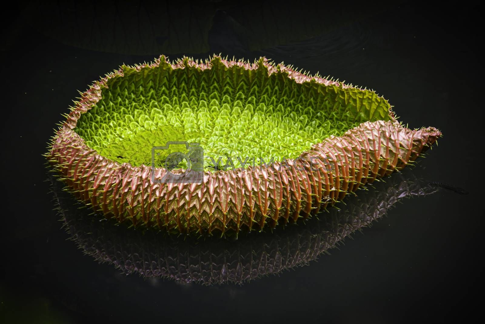 A side profile macro image of a young newly opened spiky lily leaf, floating on calm water, showing an inverted mirror image reflection.