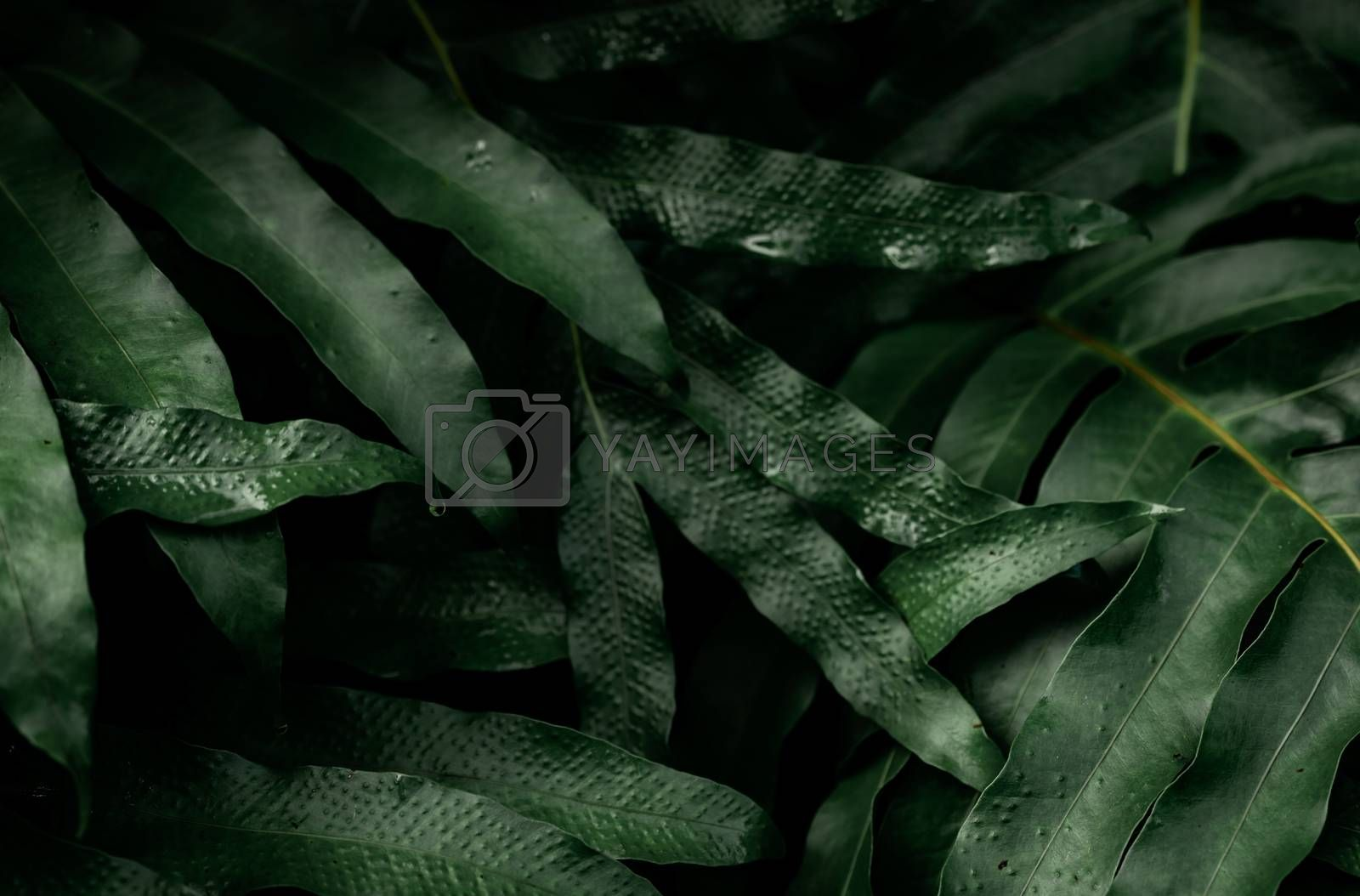 Dark green leaves with water drops in the garden. Green leaf texture. Nature abstract background. Tropical forest. Above view of dark green leaves with natural pattern at night. Tropical plant.