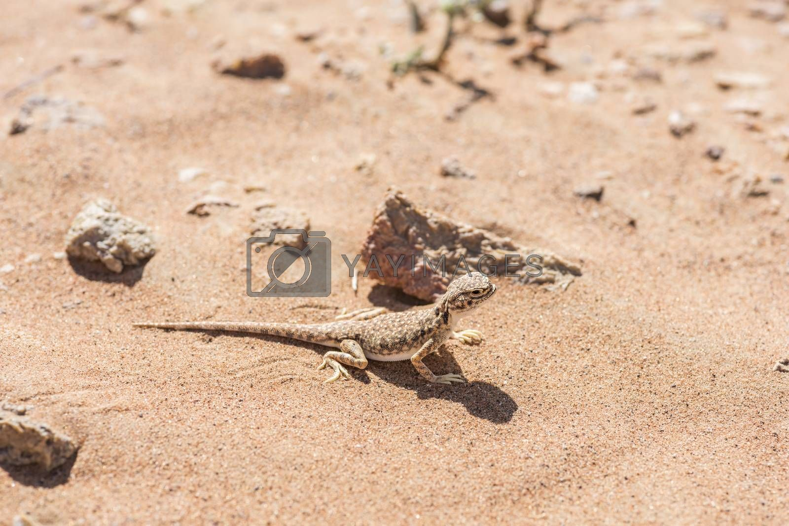 Close-up of Arabian toad-headed agama (Phrynocephalus arabicus) in the Desert, surrounded by sand and few small stones, Sharjah, UAE