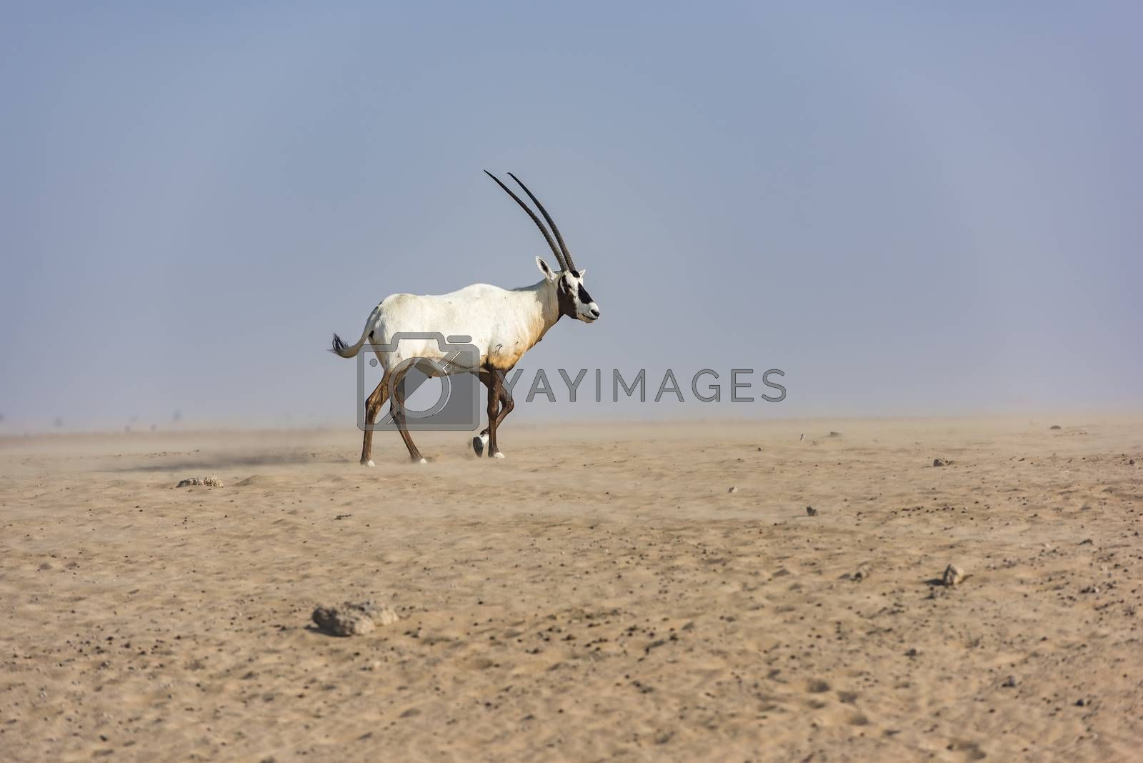 Royalty free image of An Arabian oryx in Dubai Desert, United Arab Emirates by GABIS