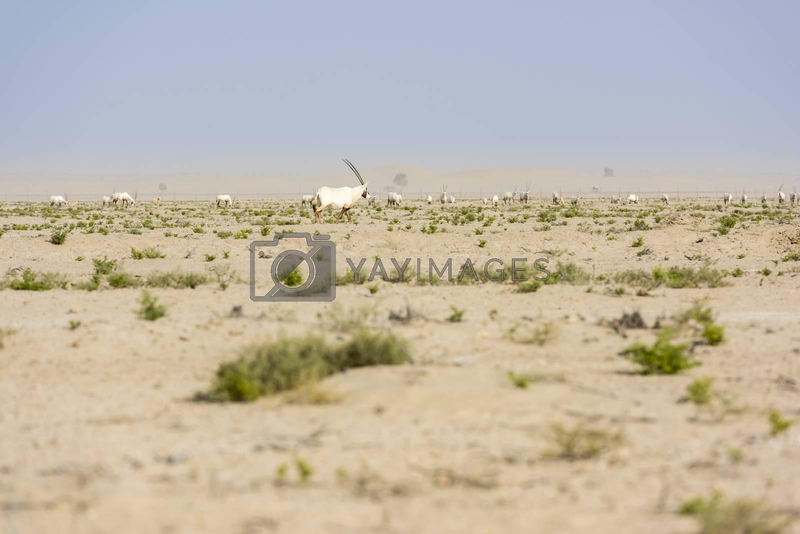 Herd of Arabian oryx in Dubai Desert, United Arab Emirates by GABIS