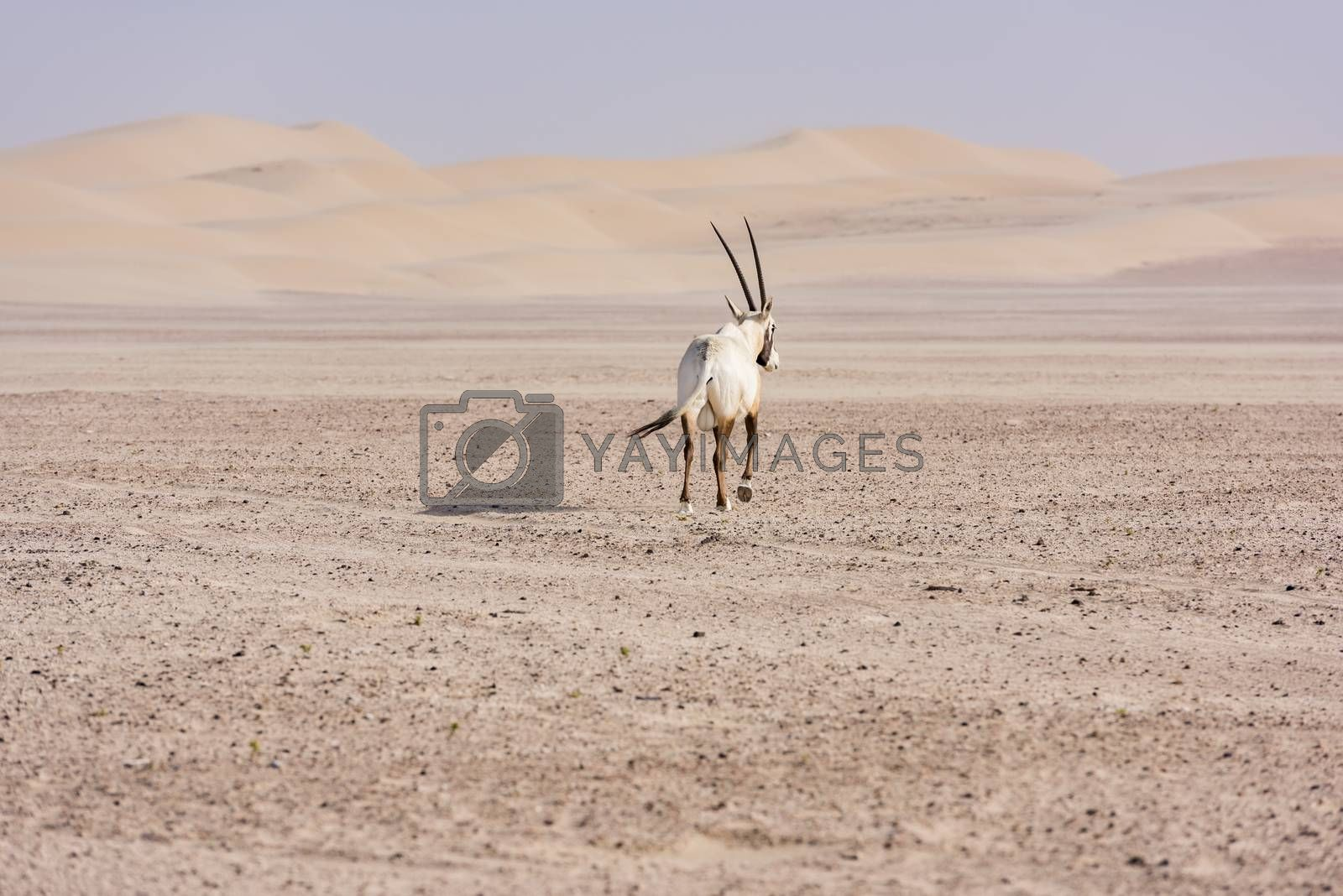 An Arabian oryx in Dubai Desert, United Arab Emirates by GABIS