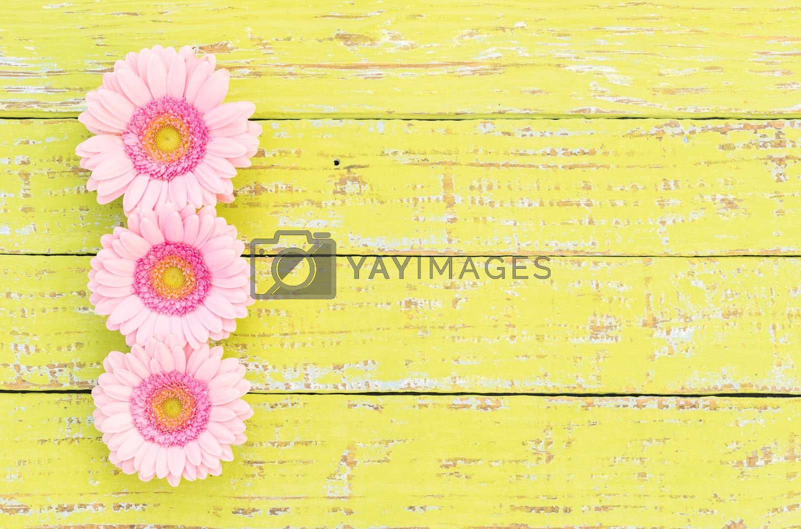Gerbera daisy flowers in pastel pink on yellow wood, floral frame with copy space