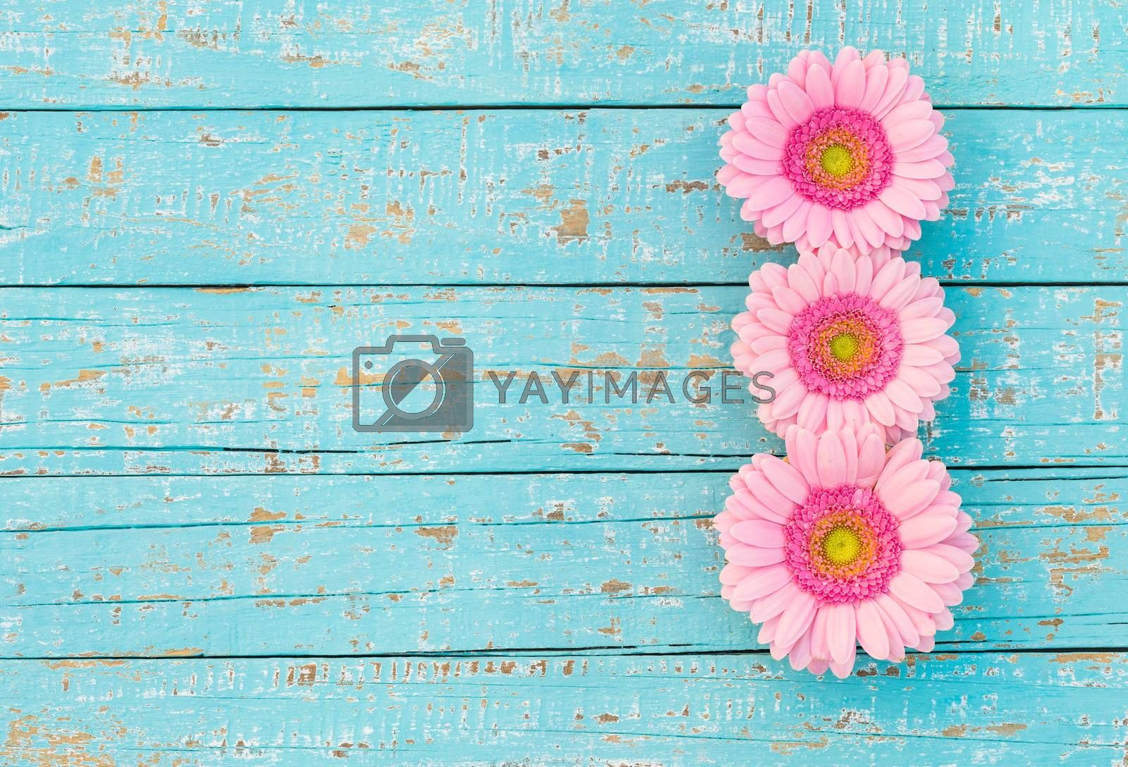 Beautiful pink gerbera flowers on turquoise wood, top view, copy space