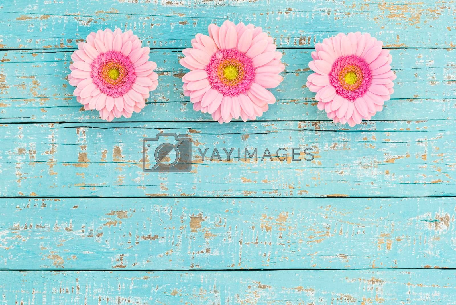 Romantic pink gerbera flowers border frame on light blue wood with copy space, top view