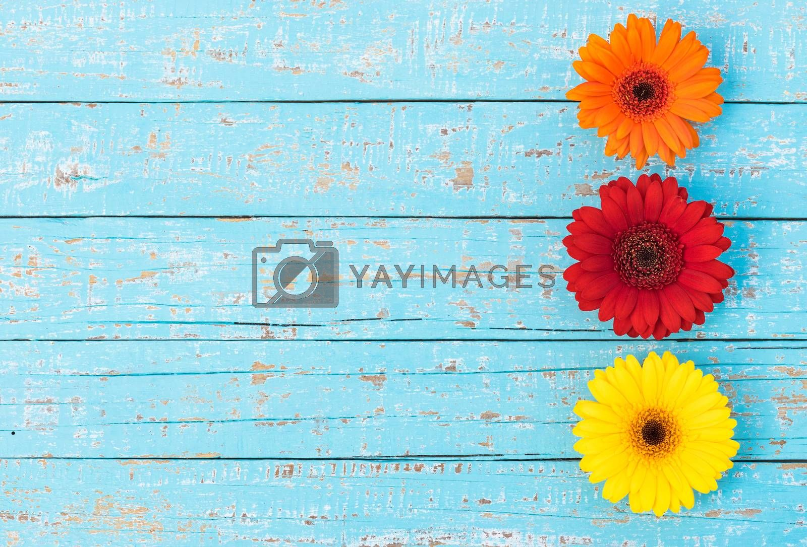 Gerbera flowers in orange, red and yellow on turquoise wood, top view with copy space