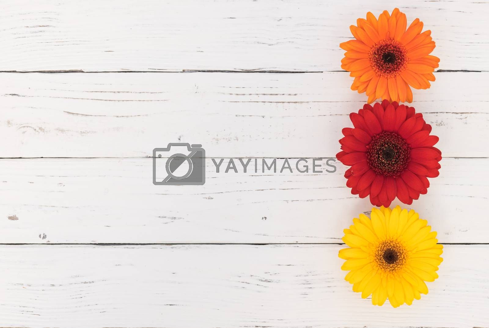 Multi-colored gerbera daisy flowers on white wooden table background with copy space