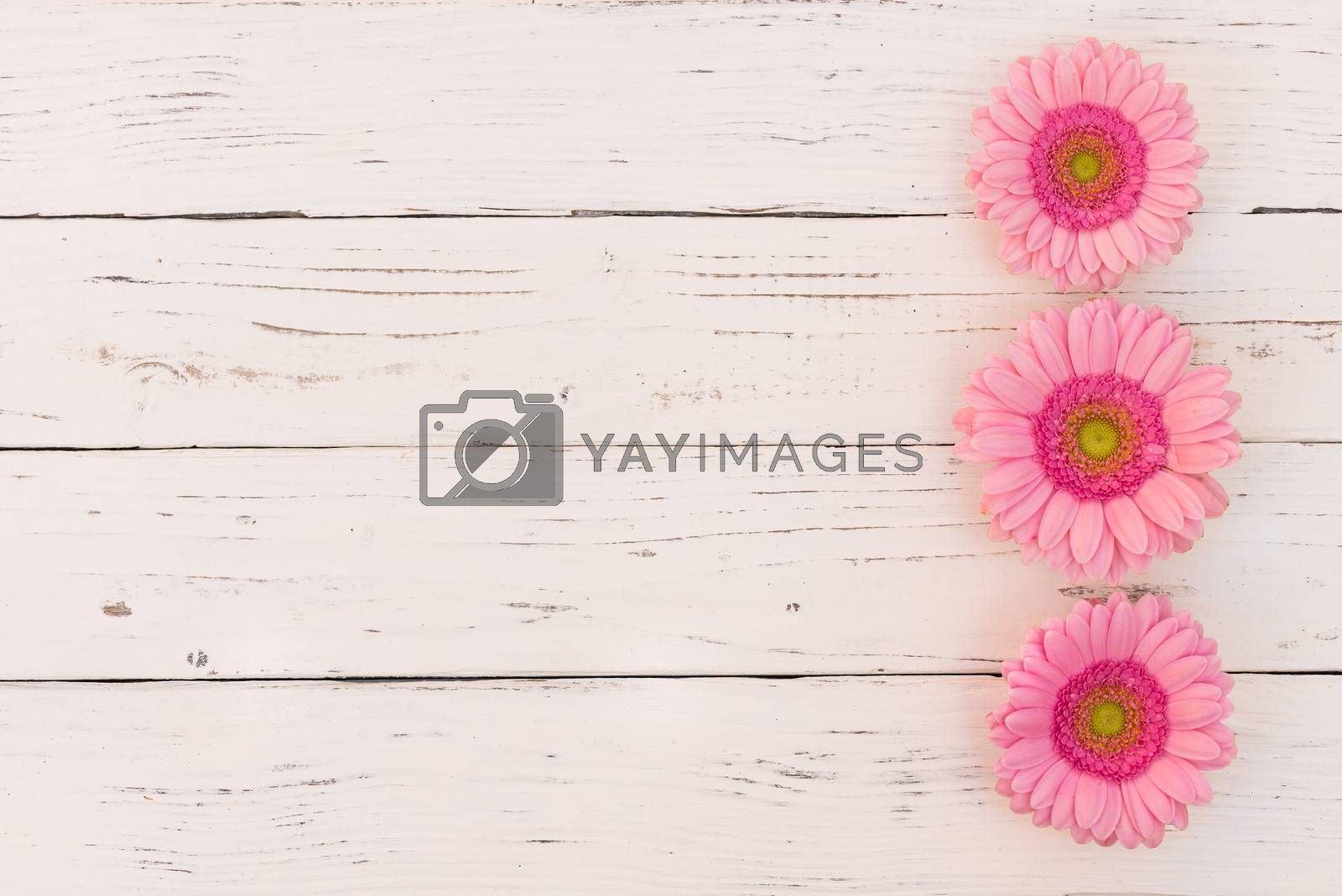 Pastel pink gerbera flowers on white wooden background with copy space