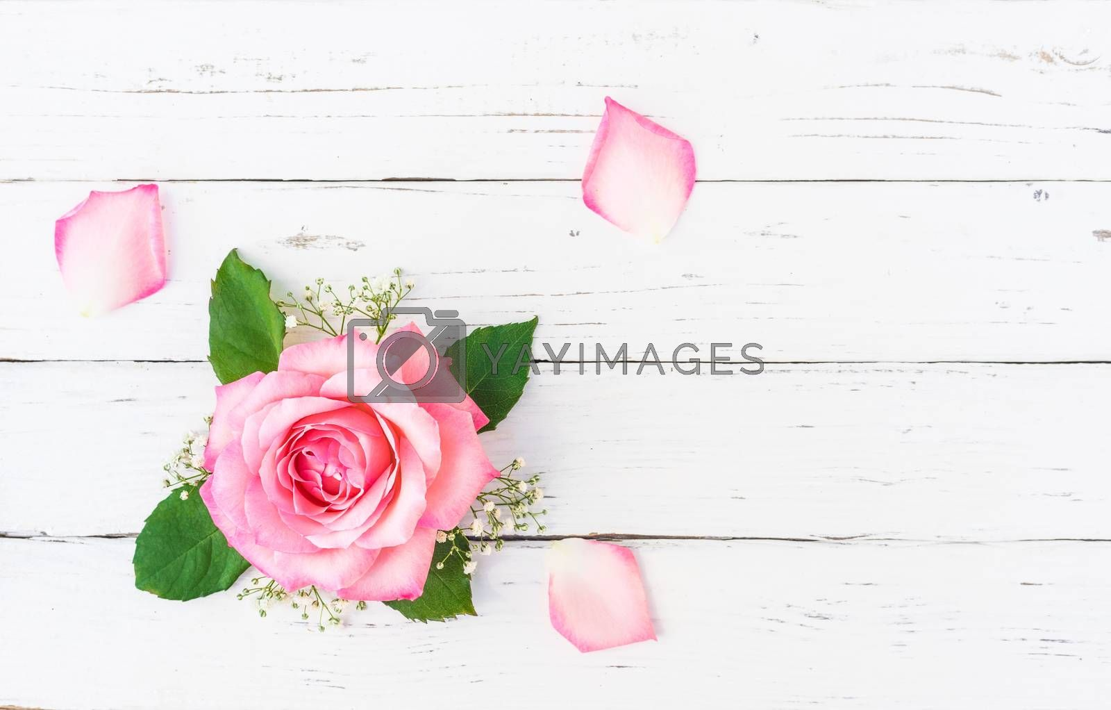 Romantic pink rose flower head with baby's - breath on white background with copy space, top view