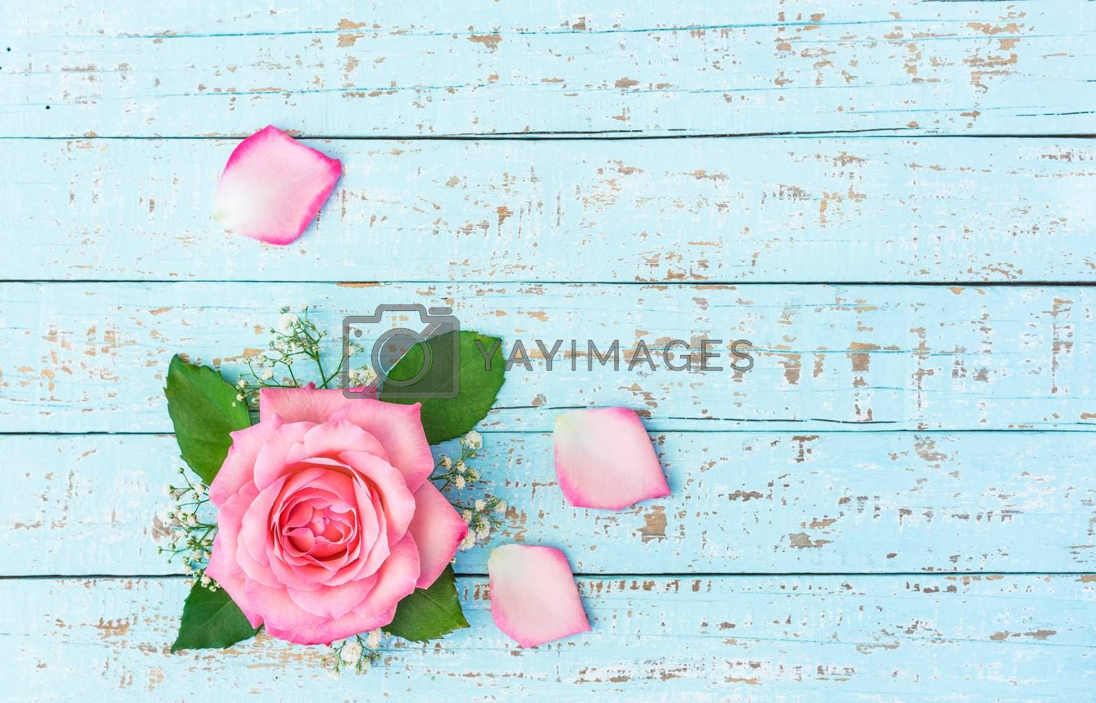 Pink rose flower head with petals on blue background with copy space, top view