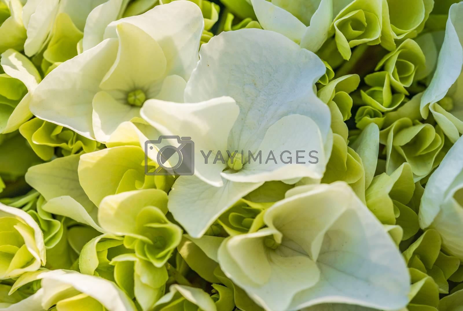 Macor of white hydrangea flowers