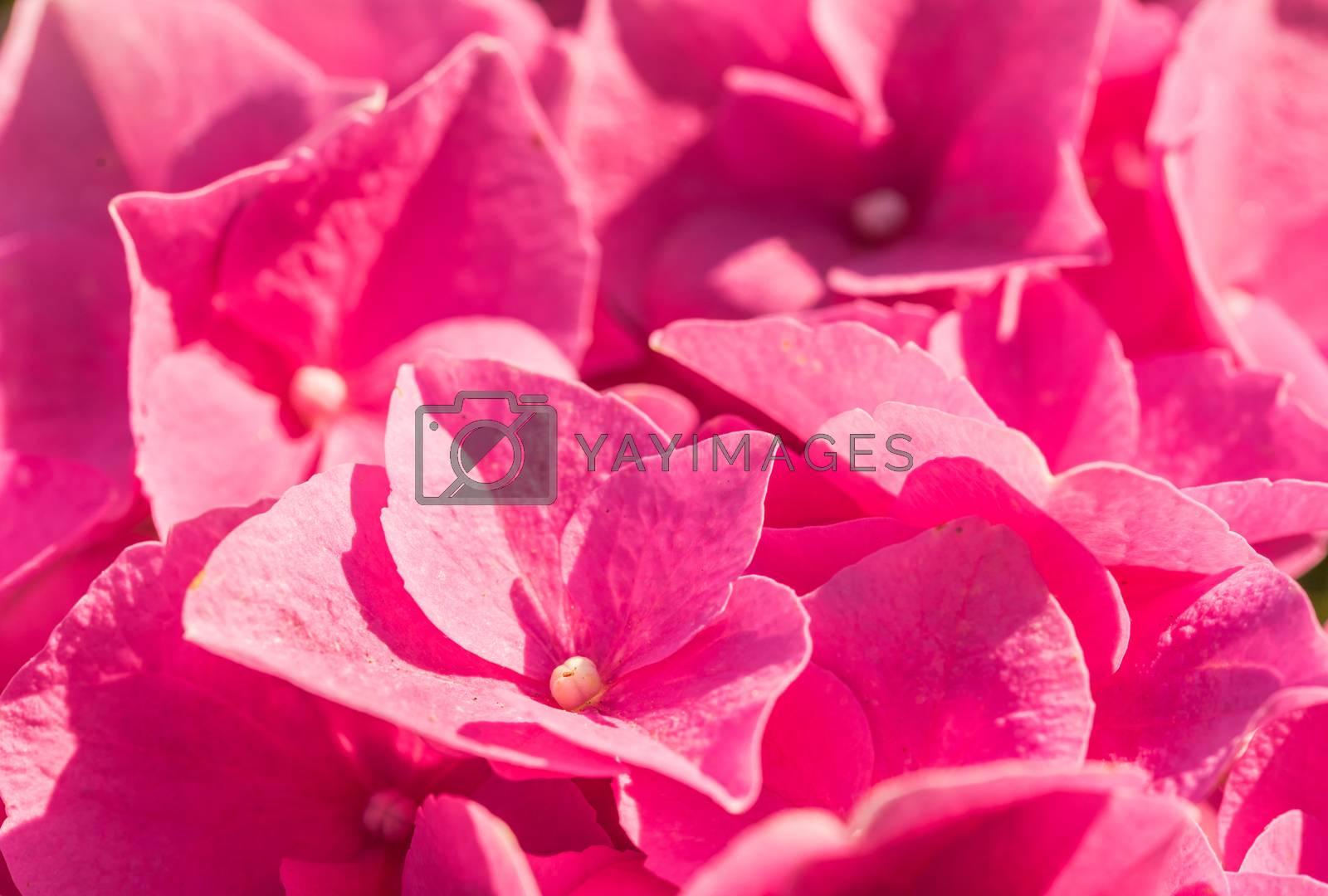 Romantic pink hydrangea flowers , close-up